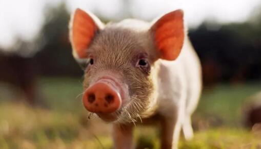 首页 技术推广 猪病 03 正文     饲养设施设备分级:饲养小猪的舍