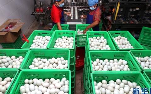 河南鄢陵:小鸭蛋成致富大产业