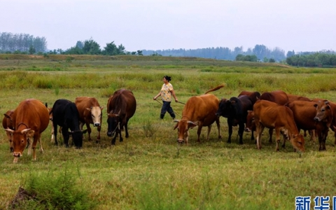 河南光山:养牛富乡亲