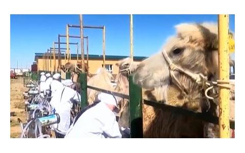 新疆吉木乃:骆驼产业助力牧民增收致富