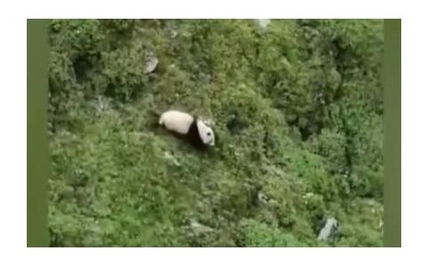 四川松潘:牧民用手机拍摄到疑似野生大熊猫