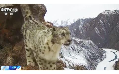 """与雪豹睦邻而居来看""""大猫谷""""牧民的幸福生活"""